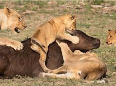 """Clip: Trâu rừng chết thảm vì bị sư tử """"làm vật thí nghiệm"""""""