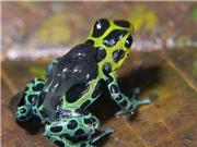 Kinh dị loài ếch độc sơ sinh sẵn sàng ăn thịt anh em ruột