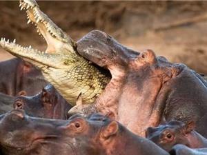 """Chùm ảnh: Cá sấu bị hà mã """"hành hung"""" tơi bời vì tội """"nhiều chuyện"""""""