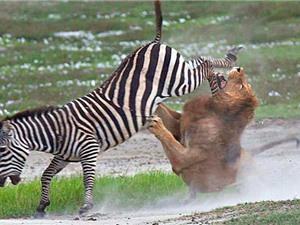 """Chùm ảnh: Sư tử đực bị ngựa vằn đá """"vỡ mặt"""""""