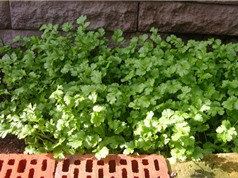 Mẹo trồng và chăm bón ngò rí xanh tốt quanh năm
