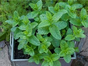 Kỹ thuật trồng và chăm sóc cây bạc hà tại nhà