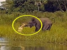 """Clip: Pha săn voi cực kỳ """"bá đạo"""" của cá sấu"""