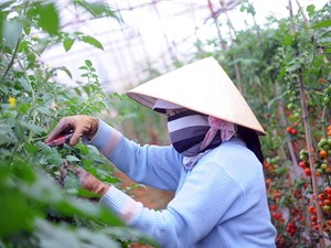 Chương trình liên kết giữa Vingroup với nông dân: Giảm các khâu trung gian để tập trung tăng chất lượng