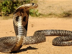 Top 10 loài rắn độc nhất thế giới