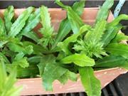 Cách trồng và chăm bón mùi tàu vừa ăn, vừa làm thuốc