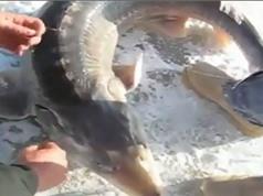 """Clip: Tóm được """"thủy quái thời tiền sử"""" khi câu cá dưới băng"""