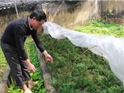 Cần khôi phục và bảo tồn cây bách Vàng tại Quản Bạ