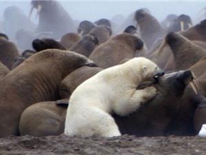 """Clip: Cuộc ác chiến khốc liệt giữa """"sát thủ Bắc Cực"""" và voi biển"""