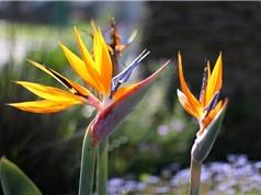 """Vẻ đẹp hút hồn loài hoa """"chim của thiên đường"""" có ở Việt Nam"""