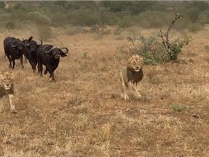 """Clip: Bị trâu rừng truy sát, sư tử """"bỏ của chạy lấy người"""""""