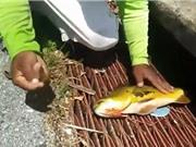 """Clip: Thanh niên """"hốt cá khủng mỏi tay"""" khi thả cần ở cống thoát nước"""