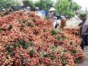 Đắk Lắk : Trồng vải thiều trên đất kém dinh dưỡng đem lại hiệu quả kinh tế cao