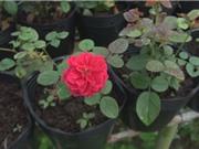 Nông dân Sa Đéc trồng thành công giống hoa hồng thơm