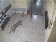 Clip: Báo đốm lao vào phòng khám tư bắt chó
