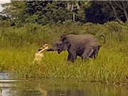 CLIP ĐỘNG VẬT ĐẠI CHIẾN ẤN TƯỢNG NHẤT TUẦN: Cá sấu săn voi, trâu rừng chết thảm vì sư tử