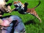 Clip: Hổ nhảy lên lưng voi tấn công người quản tượng