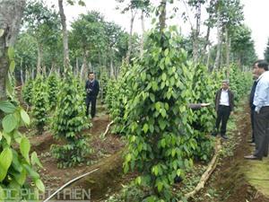 Kỹ thuật trồng, chăm sóc, thu hoạch và bảo quản tiêu Quảng Trị