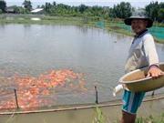 """Lão nông canh con nước """"độc"""" nuôi cá cảnh, thu cả trăm triệu/tháng"""