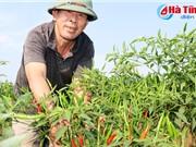 Nông dân Thiên Lộc trồng ớt thu 120 triệu đồng/ha/vụ
