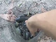 Clip: Dùng tay không bắt gần trăm con cá rô ở miền Tây