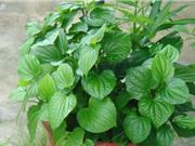 Hướng dẫn trồng lá lốt tại nhà vừa ăn, vừa làm thuốc