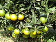 Phương pháp trồng, chăm sóc, thu hoạch, bảo quản cam Cao Phong