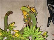 Đặc trưng về hình thái của chuối ngự Đại Hoàng