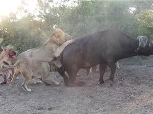 Clip: Sư tử thản nhiên xé xác trâu rừng trước mặt du khách