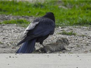 Rợn người trước cảnh săn giết thỏ của quạ đen