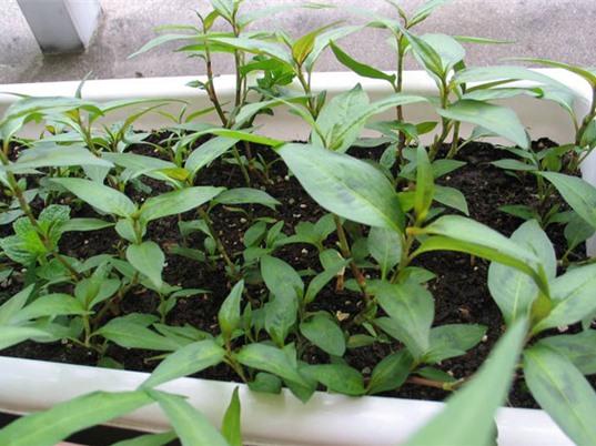 Kỹ thuật trồng và chăm sóc rau răm trong chậu
