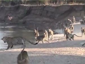 """Clip: Khỉ đầu chó dọa báo hoa mai chạy """"trối chết"""""""