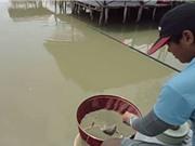 Clip: Giật cá rô phi mỏi tay bằng mồi cám
