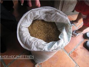 Vì sao có tên gạo nàng Nhen thơm Bảy Núi?