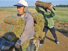 Chuyện trồng cỏ kiếm bộn tiền ở Nam Định
