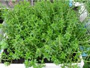 Kỹ thuật trồng và chăm bón rau ngổ làm thuốc quý