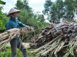 Tháo 'gông' cho cây mía, chuyển qua tôm - lúa