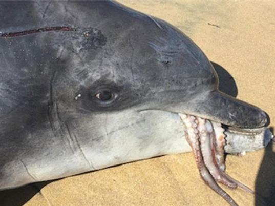 Cá heo chết thảm vì nuốt chửng bạch tuộc