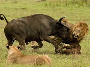 CLIP HOT NHẤT TUẦN: Hổ giết bò tót, sư tử xé xác trâu rừng