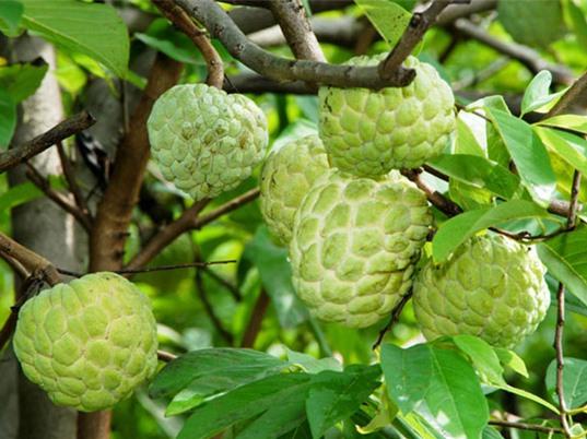 Kỹ thuật trồng và chăm sóc cây na tại nhà cho trái sai trĩu