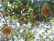 Hướng dẫn cách phân biệt cam sành Hà Giang