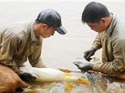 Làm chủ công nghệ sản xuất giống cá chép lai