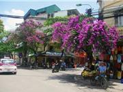 Mùa hoa tím nở rộ trên khắp phố phường Hà Nội