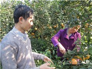 Kỹ thuật trồng cam sành Hà Giang