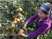 Đặc điểm hình thái cây cam sành Hà Giang