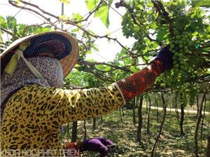Công đoạn trồng và chăm sóc nho Ninh Thuận