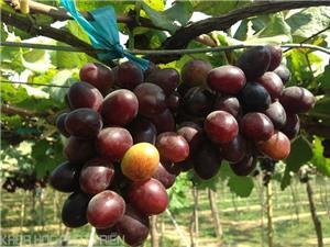 Hướng dẫn cách thu hoạch và bảo quản nho Ninh Thuận