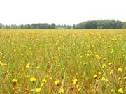 Cận cảnh vẻ đẹp cánh đồng hoa Hoàng Đầu Ấn