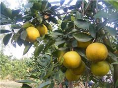 Hương vị riêng của cam Xã Đoài trồng trên đất Hòa Bình