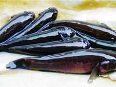 Mô hình nuôi cá bống bớp bằng nguồn thức ăn tự nhiên